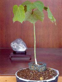 Aogiri - Firmiana Platanifolia di Hiroshima 1945