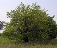 gelso-albero-small.jpg