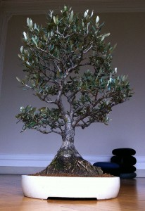 bonsai-olivo